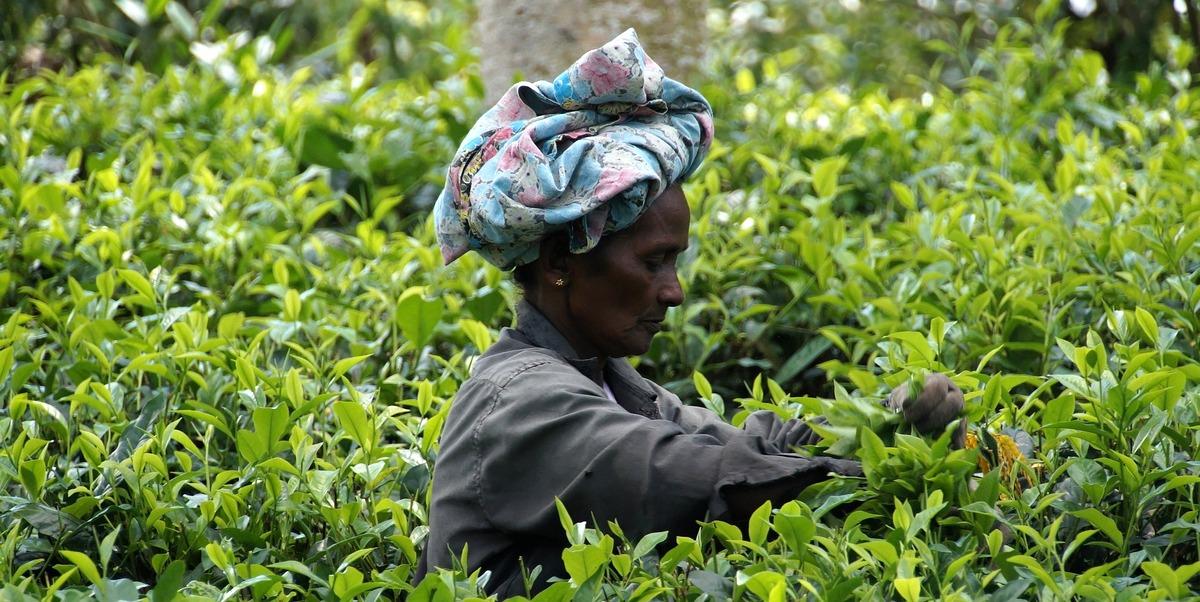 Recolectora de te cingalesa en la plantación en Sri Lanka