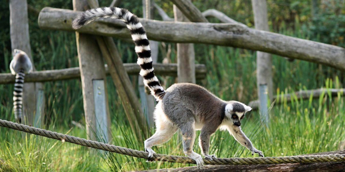 Lemur de cola anillada endémico de Madagascar